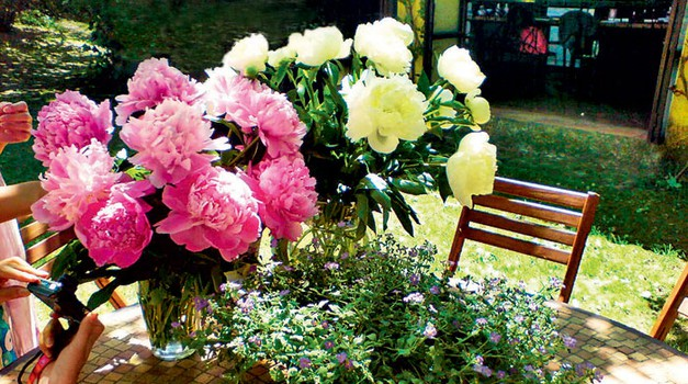 Cvetovi potonike vabijo z velikimi, nežnimi cvetovi  vseh barv. (foto: Aleksander Štokelj)