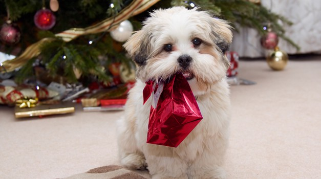 Živali za darilo? To NI dobra ideja! (foto: shutterstock)