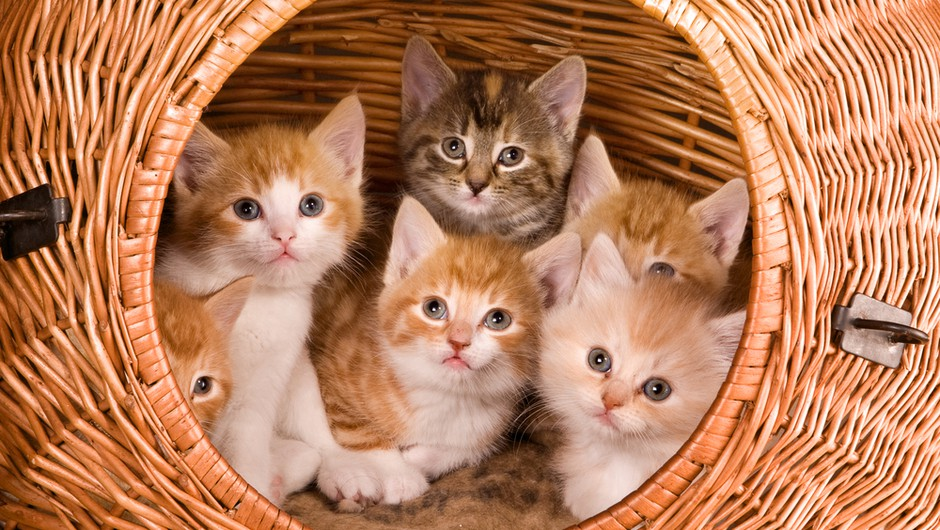 Sterilizacija in kastracija mačke - da ali ne? (foto: shutterstock)