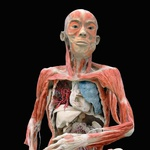 Fascinantna razstava Bodies Revealed - Razkrita telesa (foto: promo)