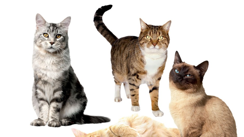 Mačke (foto: Chris Clinton, Shutterstock, profimedia.si, Getty Images/Fuse,  Getty Images/Dorling Kindersley, Getty Images, arhiv proizvajalcev)