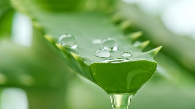 Odlični lepotni učinki aloje (foto: Shutterstock.com)