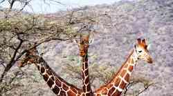 Kaj pomenijo vse te žirafe na facebooku?