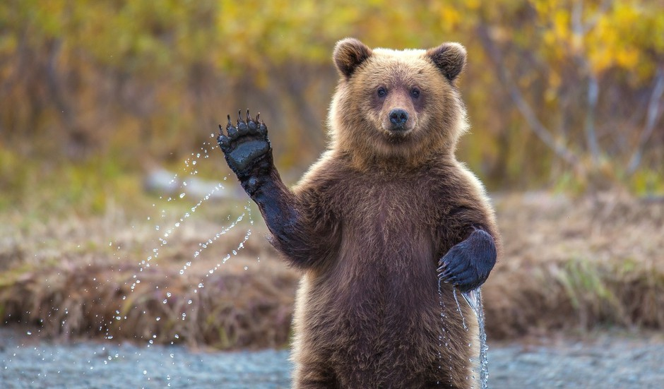 Ta izjemna fotografija očitno priljudne medvedke vrste grizlija je uspela fotografu Kevinu Dietrichu. (foto: profimedia)