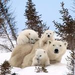 Polarna medvedka s trojčki.  (foto: profimedia)