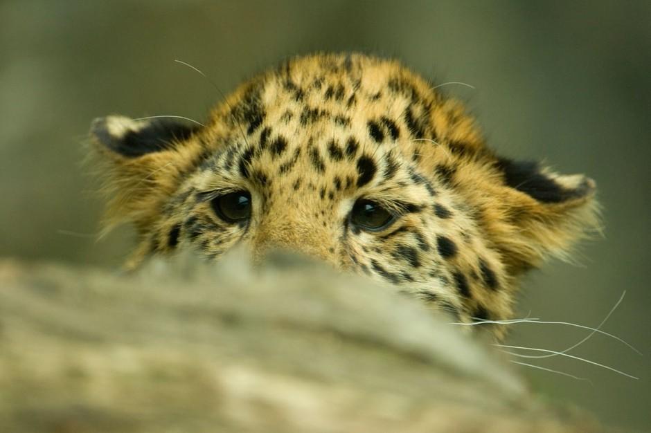 Mali amur leopard iz ZOO Marwell (foto: profimedia)