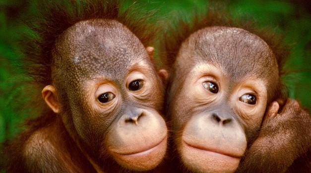 orangutana (foto: Profimedia)