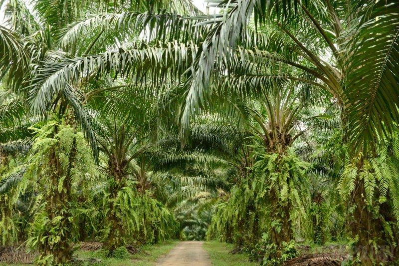 palme za palmovo olje