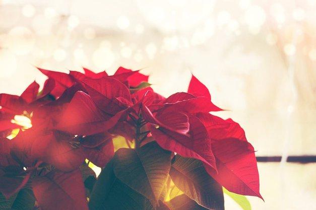 Če boš upoštevala TE 4 nasvete, bo tvoja božična zvezda zdržala CELO leto (foto: Profimedia)